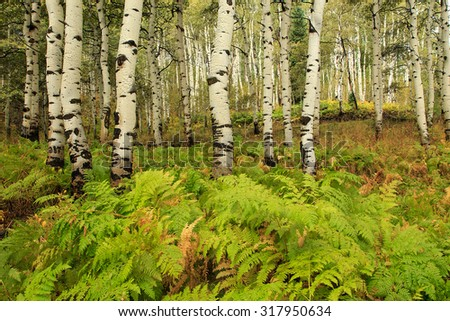 Aspens and ferns in the Utah mountains, USA.