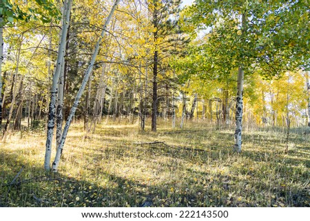 Aspens in autumn afternoon