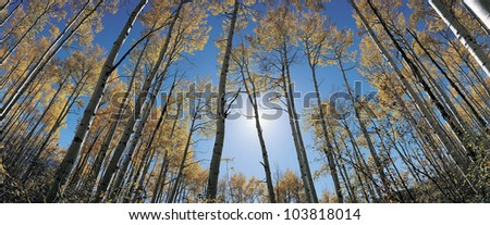 Aspens in autumn with colorful leaves, Colorado - stock photo