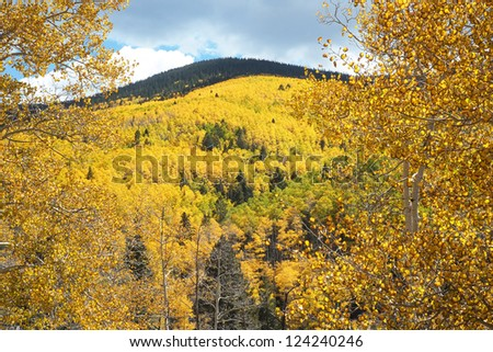 Aspens turning gold in fall in the Sangre de Cristo Mountains in the Santa Fe National Forest. Horizontal view with trunk and leaves of one aspen detailed in the foreground.