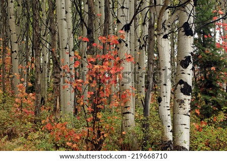 Aspens with red maple, Utah, USA. - stock photo