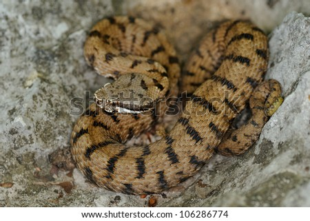 Aspid viper on leaves