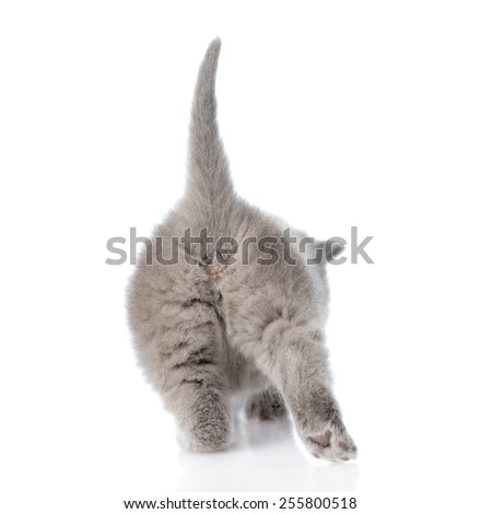 ass small kitten. isolated on white background - stock photo