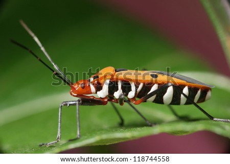 Assassin Beetle - stock photo