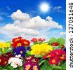 assorted fresh spring flowers primula with sunny blue sky background. floral backdrop - stock photo