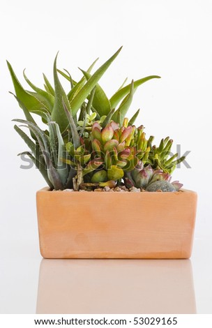 Assorted Potted Cacti on White - stock photo