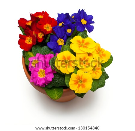 assorted primula flowers in ceramic pot isolated on white background - stock photo