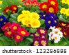 assorted spring primulas. colorful flower bed with red, blue, yellow, pink blossoms. easter flowers - stock photo