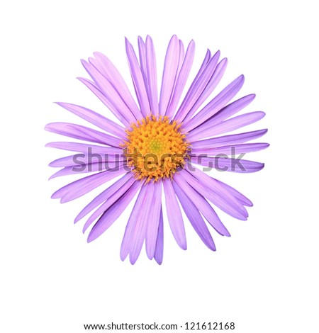 Aster alpinus close up isolated on white background - stock photo