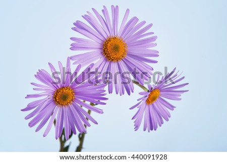 asters stock photos, royaltyfree images  vectors  shutterstock, Beautiful flower