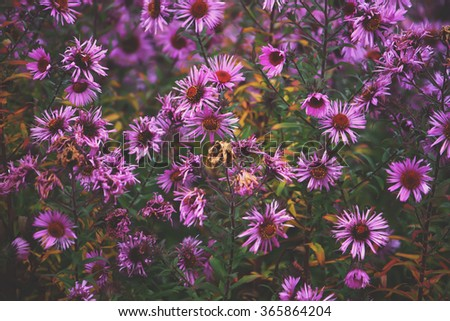 Aster dumosus flowers in autumn garden. - stock photo