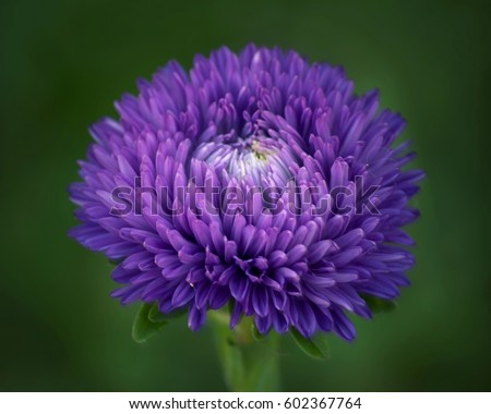 aster stock images, royaltyfree images  vectors  shutterstock, Beautiful flower