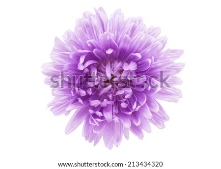 aster flower on a white background - stock photo