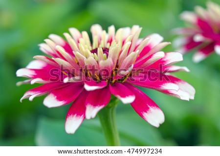aster stock images, royaltyfree images  vectors  shutterstock, Natural flower