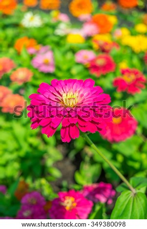 Aster flowers blooming in  the garden - stock photo