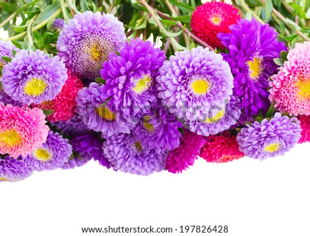 aster flowers border isolated on white background