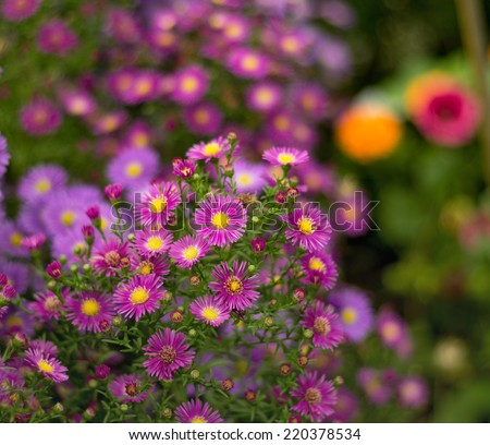 Aster in a garden in the fall.