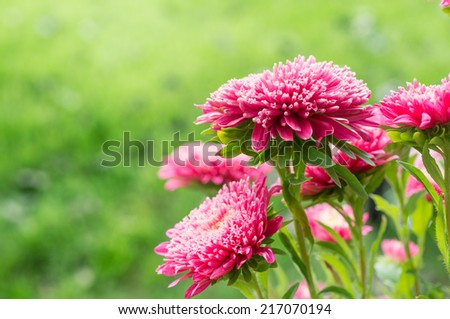 Aster in garnde; Shallow depth of field - stock photo