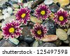 Aster is a genus of flowering plants in the family, Asteraceae. On stones - stock photo