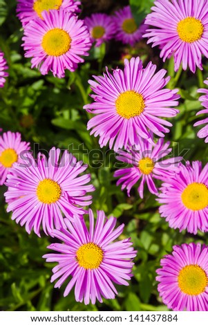 Asters - stock photo
