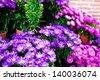 Asters - gardening - stock photo
