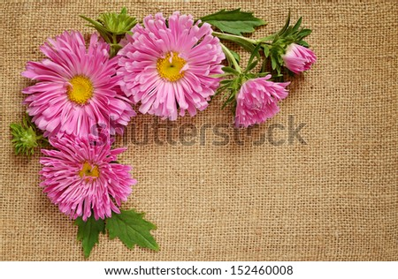 Asters on brown canvas background - stock photo
