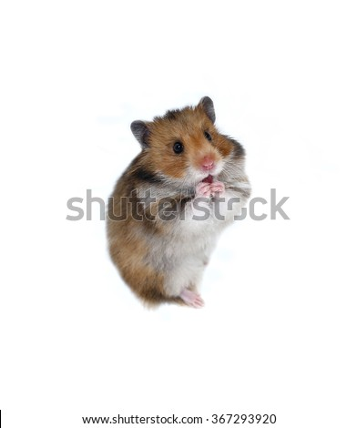 Astonished brown Syrian hamster stands on his hind paws isolated on a white background