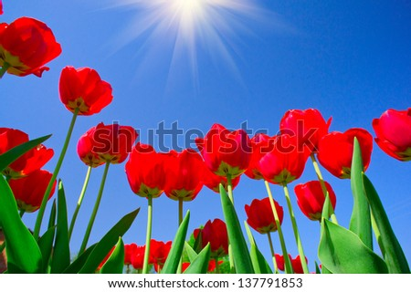 Astonishing beams above  image of blooming tulips.