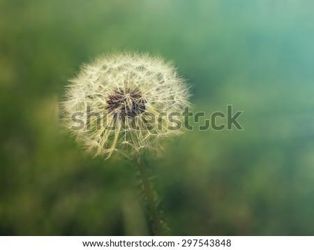 Astonishing dandelion/Astonishing dandelion/Astonishing dandelion - stock photo