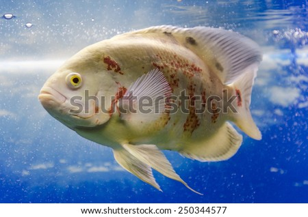Astronotus Ocellatus. Exotic fish in aquarium.