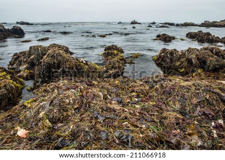 At low tide, kelp and sea weed are left high and dry around tide pools in Monterey Bay Marine Sanctuary. Tide pools support a variety of intertidal life which are adapted to the tidal exchange. - stock photo