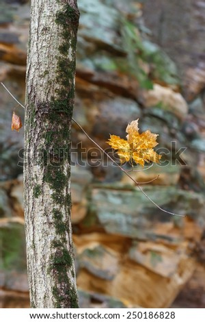 At Starved Rock, inside the sandstone walls of Illinois Canyon, a lone golden brown maple leaf hangs precariously from its moss covered tree. - stock photo