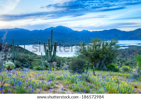At sunrise, Mexican Gold Poppy's start blooming. - stock photo
