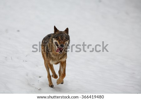 at the running wolf in snow - stock photo