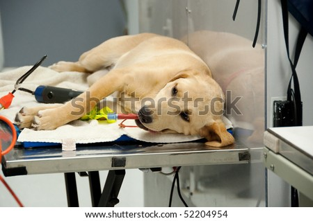 at the vet's for a spaying procedure - stock photo