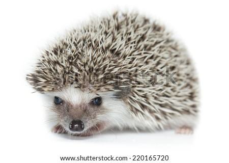Atelerix albiventris, African pygmy hedgehog. in front of white background, isolated.