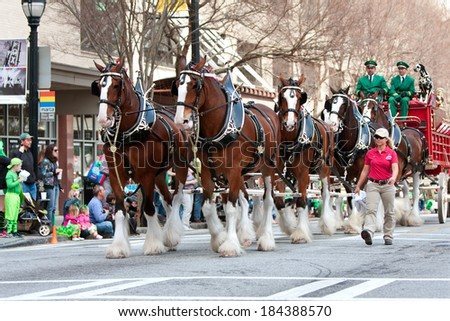ATLANTA, GA - MARCH 15:  The famous Budweiser Clydesdales strut down Peachtree Street in the St. Patrick's parade, on March 15, 2014 in Atlanta, GA.   - stock photo