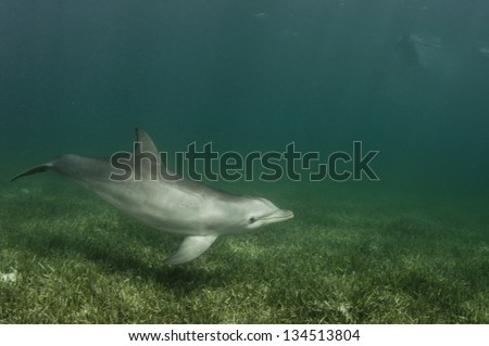 Atlantic bottlenose dolphin hunting in her natural environment - stock photo