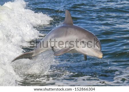 Atlantic Bottlenose Dolphin (Tursiops truncatus) - stock photo