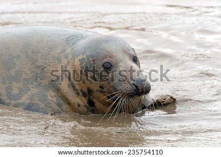 Atlantic Grey Seal in Shallow Water/Atlantic Grey Seal Pup/Atlantic Grey Seal Pup (halichoerus grypus) - stock photo