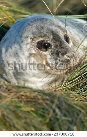 Atlantic Grey Seal Pup in Long Green Dune Grass/Atlantic Grey Seal Pup/Atlantic Grey Seal Pup (halichoerus grypus) - stock photo