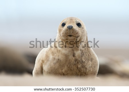 Atlantic Grey Seal Pup on Sandy Beach/Atlantic Grey Seal Pup/Atlantic Grey Seal Pup (Halichoerus Grypus) - stock photo