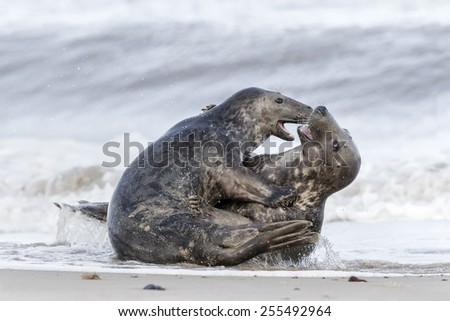 Atlantic Grey Seals play fighting