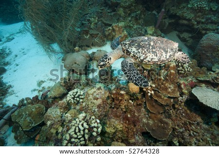 Atlantic Hawksbill Turtle (Eretmochelys imbricata imbricata) swimming over a tropical coral reef, Bonaire Netherlands Antilles.