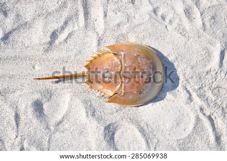 Atlantic horseshoe crab or Limulus polyphemus on beach