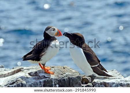 Atlantic puffin and razorbill, Farne Islands Nature Reserve, England - stock photo