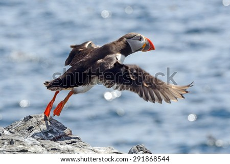 Atlantic puffin, Farne Islands Nature Reserve, England - stock photo