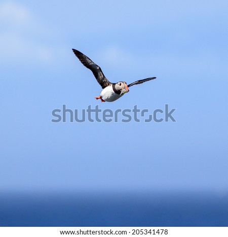 Atlantic Puffin (Fratercula arctica) in flight on Grimsey, Iceland