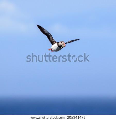 Atlantic Puffin (Fratercula arctica) in flight on Grimsey, Iceland - stock photo