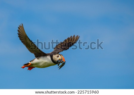 Atlantic Puffin (Fratercula arctica) in flight with a beakful of sandeels. Shot against a blue sky. Horizontal format with copy space.  - stock photo